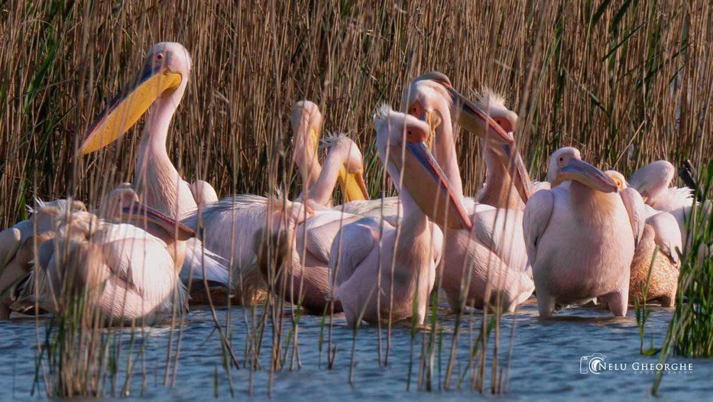 pelicani-in-delta-dunarii